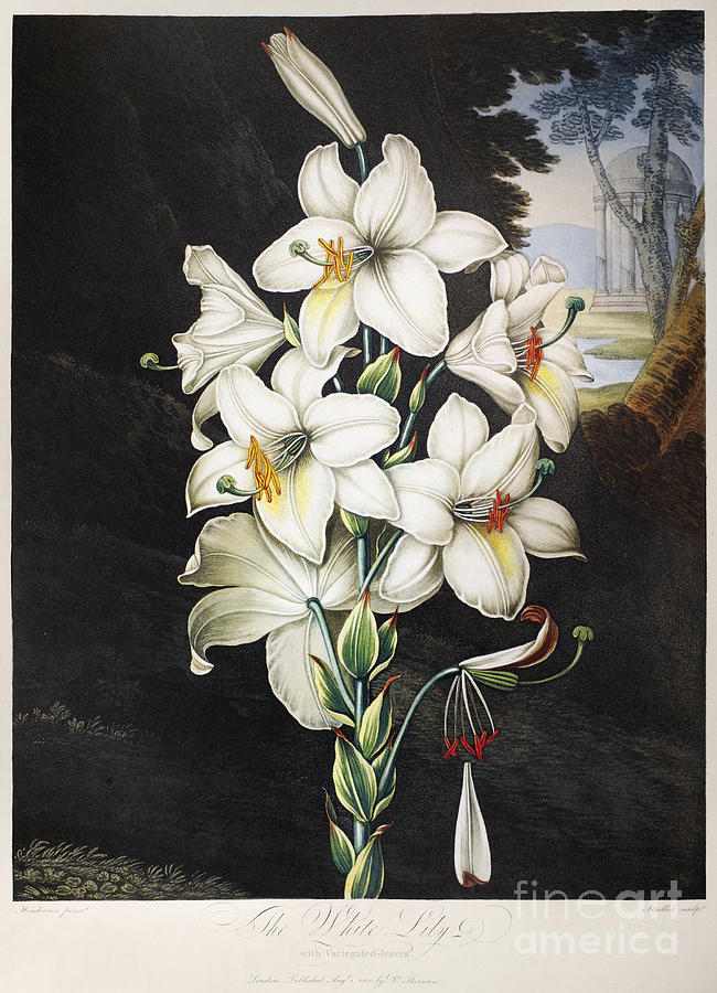 1800 Photograph - Thornton: White Lily by Granger
