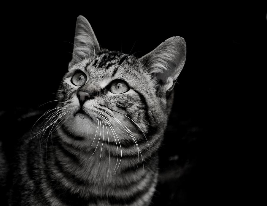 Thoughtful Tabby by Chriss Pagani