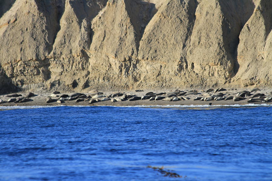 Santa Rosa Island Photograph - Thousands of seals by Carmin Wong