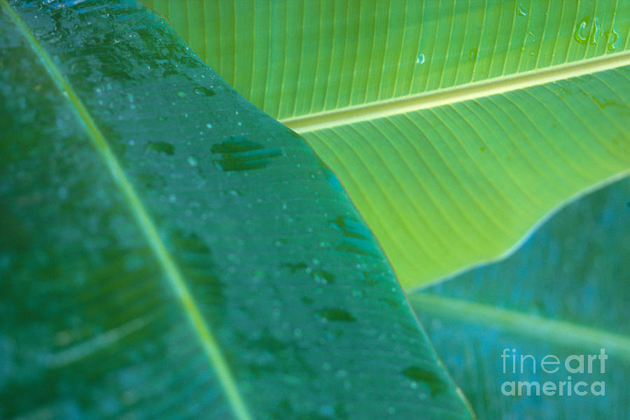 Agriculture Photograph - Three Banana Leaves by Dana Edmunds - Printscapes