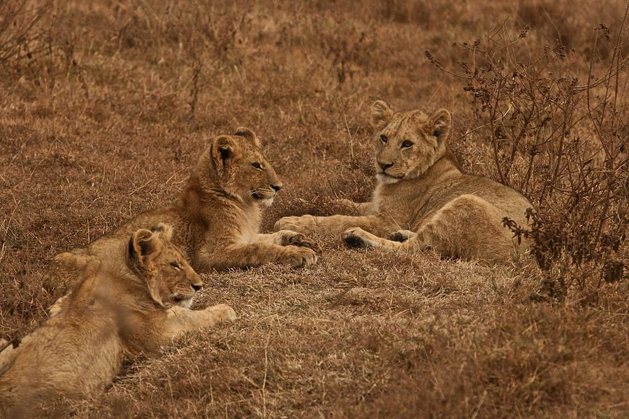 Lion Photograph - Three Brothers by Miranda  Miranda