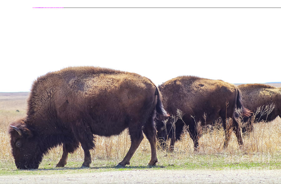 Three buffalo grazing beside the road in Tall Grass Pairie swishing their tails by Susan Vineyard