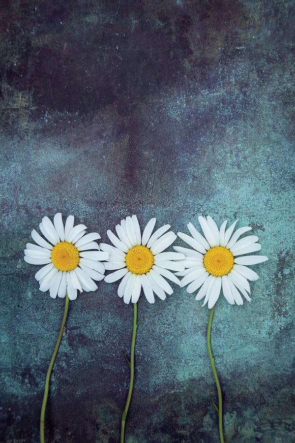 Three Daisies by Maria Heyens