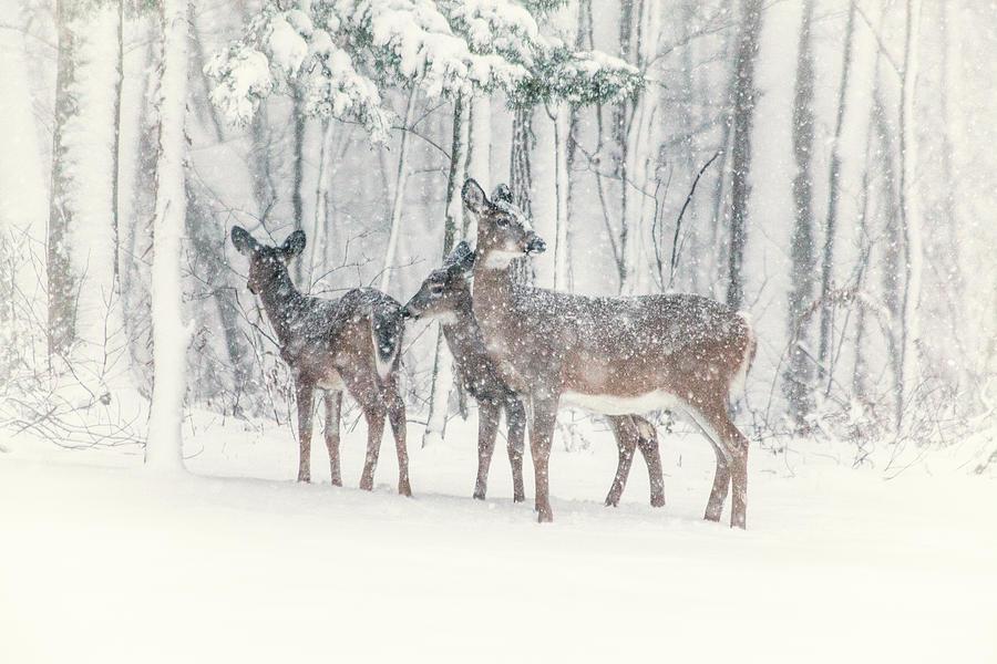 Three Deer Come Calling by Karol Livote