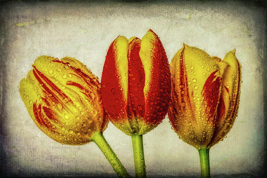 Tulip Photograph - Three Dew Covered Tulips by Garry Gay
