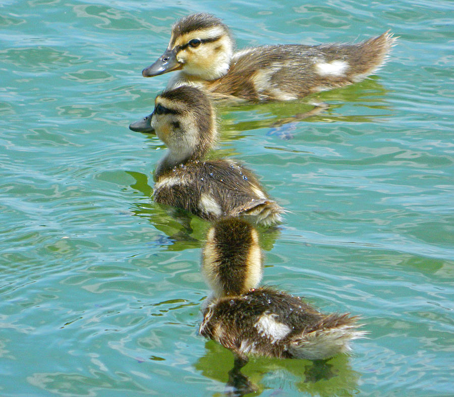 Three Ducklings Swimming by Emmy Marie Vickers