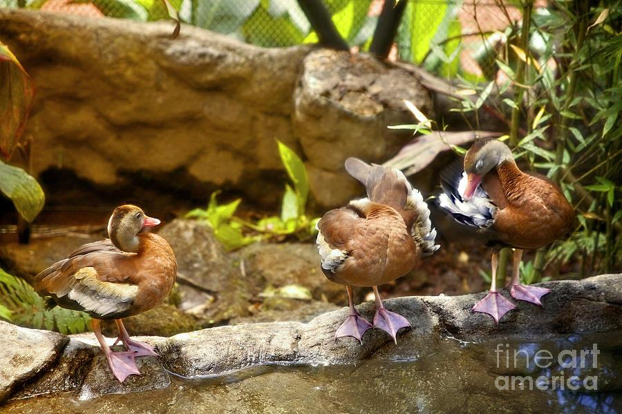Ducks Photograph - Three Ducks by Madeline Ellis