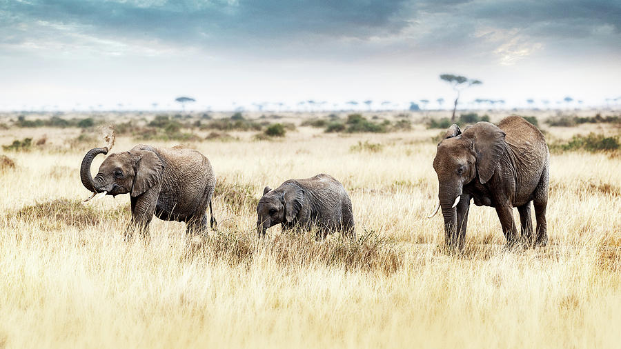 Large Photograph - Three Elephants Walking In Kenya Africa by Susan Schmitz