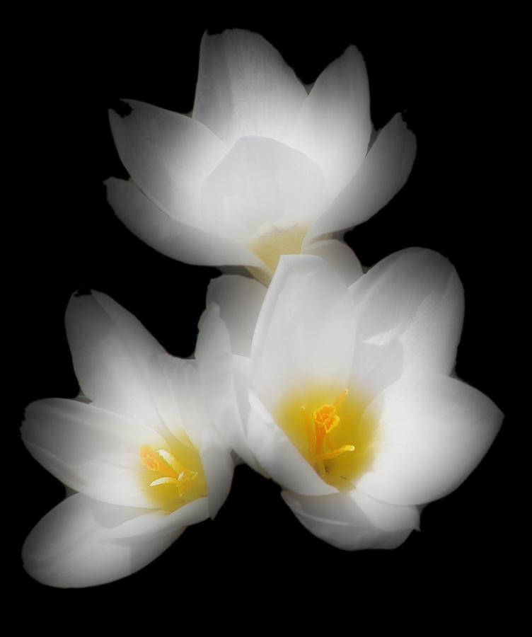 Three Flowers Photograph