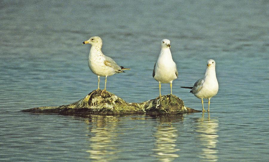 Seagull Photograph - Three Friends by Bruce Gilbert