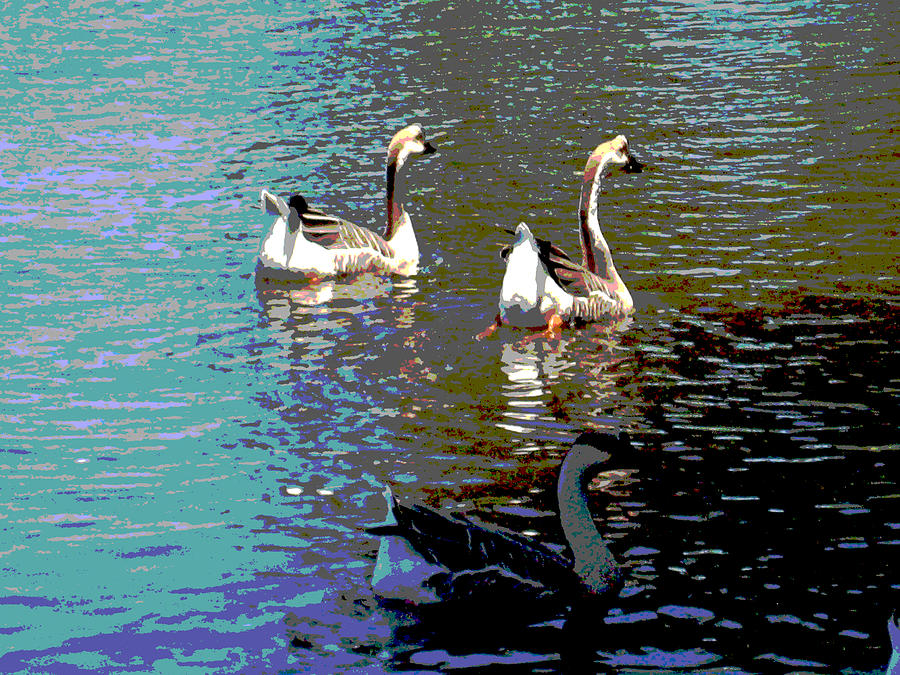 Wildlife Photograph - Three Geese Swimming by Diann Baggett
