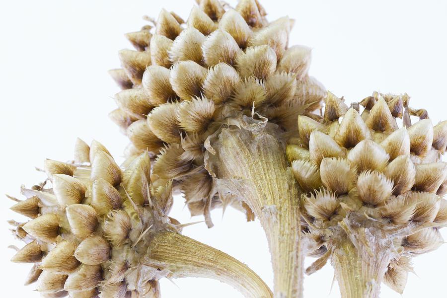 Cornflower Photograph - Three Globe Cornflower Seed Heads - Macro by Sandra Foster
