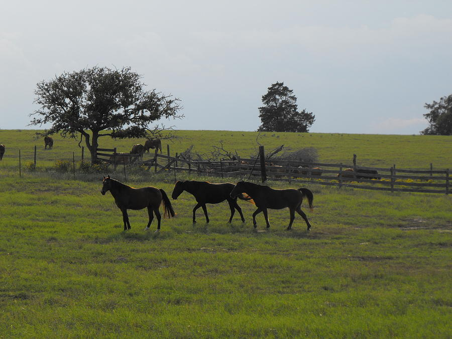 Three Horses On A Texas Ranch Photograph - Three Horses by Rebecca Cearley