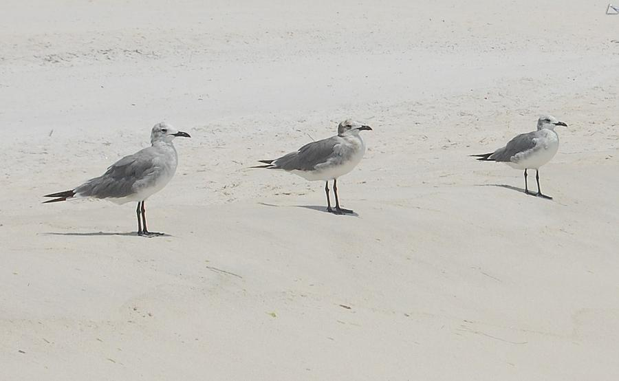 Birds Photograph - Three In A Row by Beverly Hammond