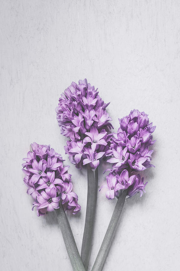 Three Light Purple Hyacinths by Maria Heyens