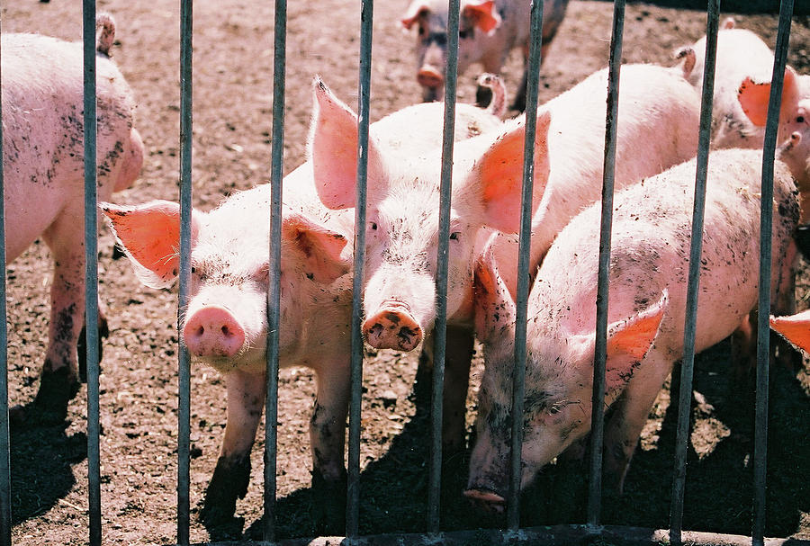 Pigs Photograph - Behind Bars by William T Templeton
