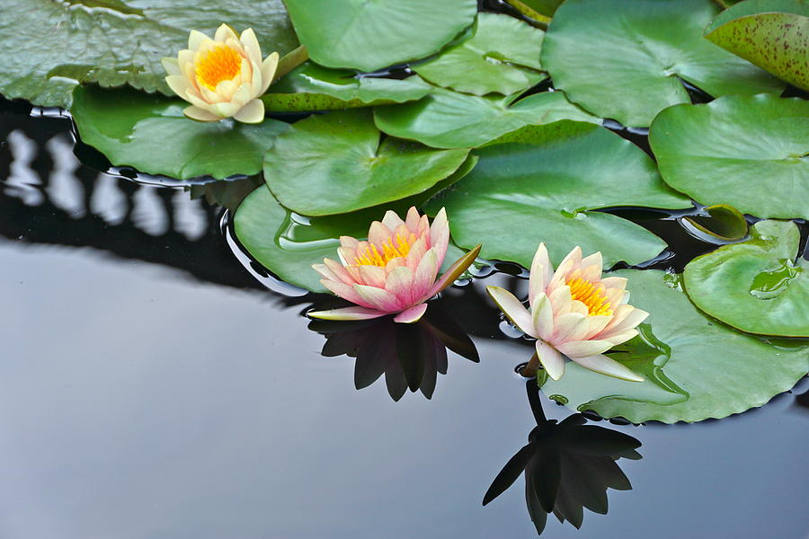 Three Lovely Hardy Waterlily Blossoms by Byron Varvarigos