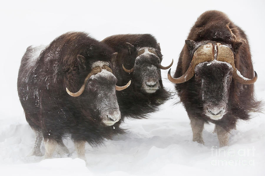 Three Musk ox in wind by Doug Lindstrand