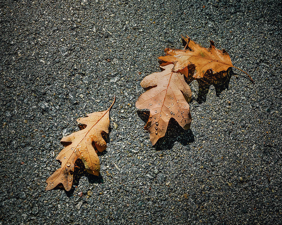 Three Oak Leaves Photograph