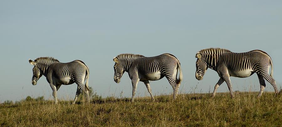 Zebra Photograph - Three On The Horizon by David Yocum