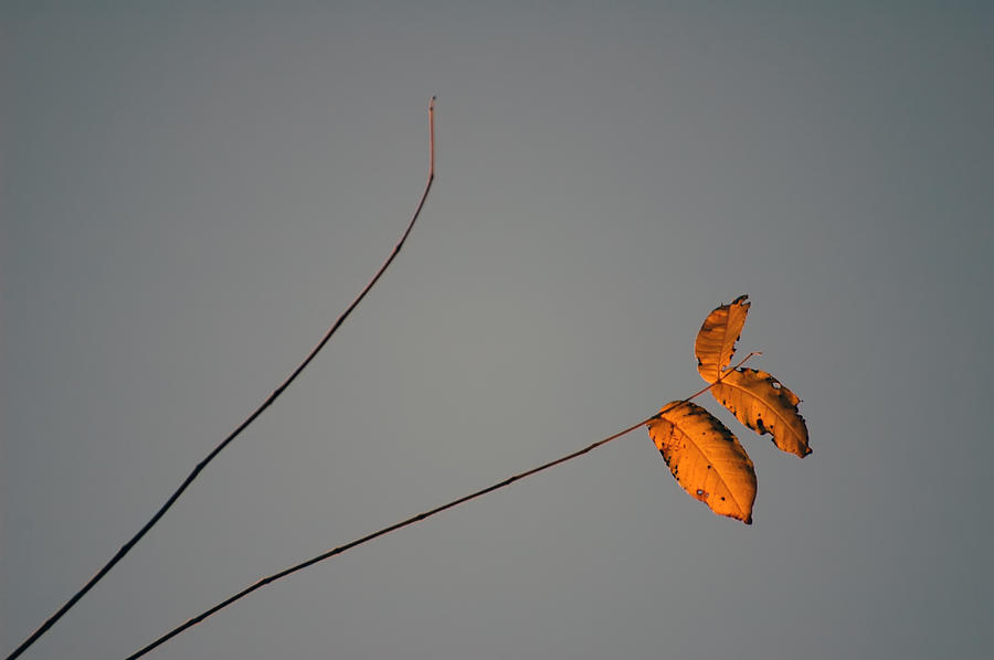 Leaves Photograph - Three Oranges by Ross Powell