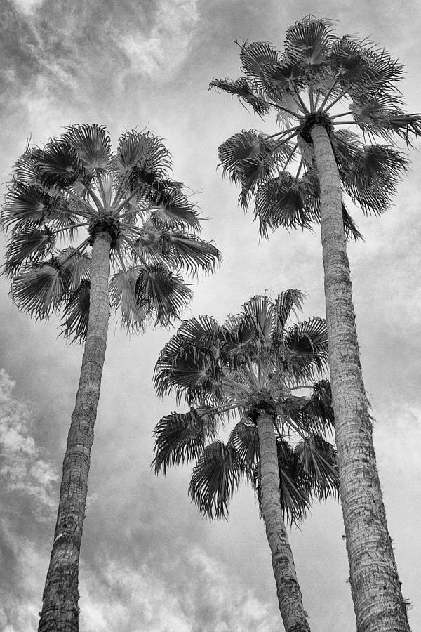 Palm Springs Photograph - THREE PALMS BW Palm Springs by William Dey