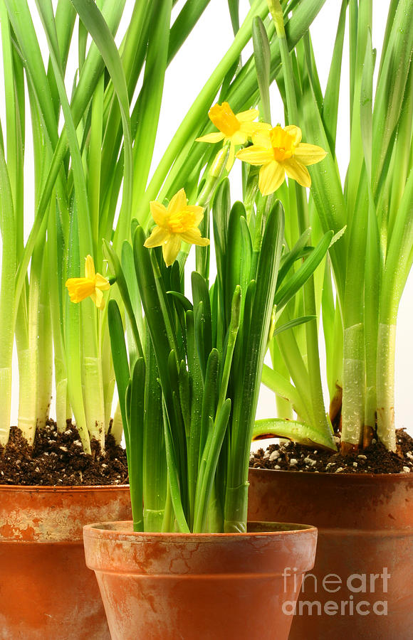 Spring Photograph - Three Pots Of Daffodils On White  by Sandra Cunningham