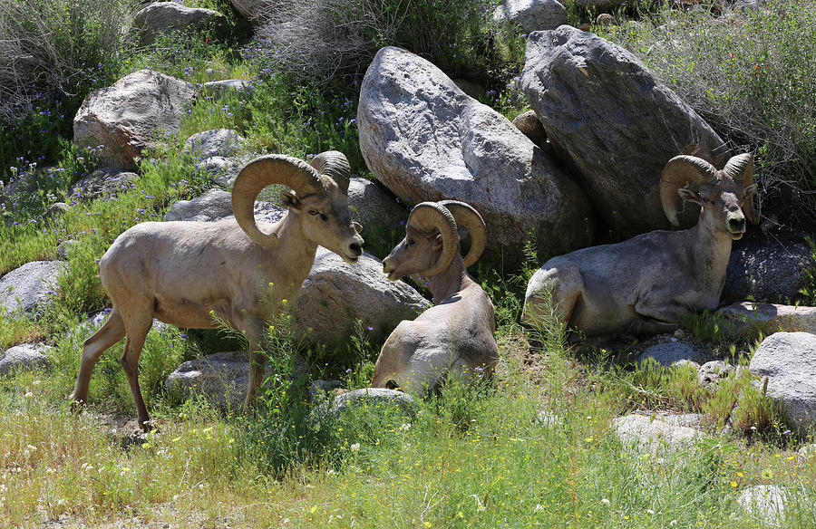 Bighorn Sheep Photograph - Three Rams  by Robin Street-Morris