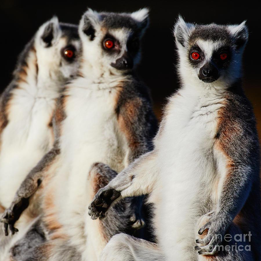 Three Ring-tailed Lemurs Photograph