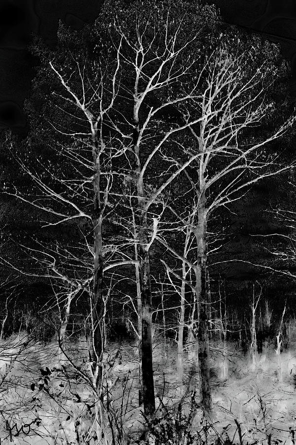 Three Trees in Black and White by Gina O'Brien
