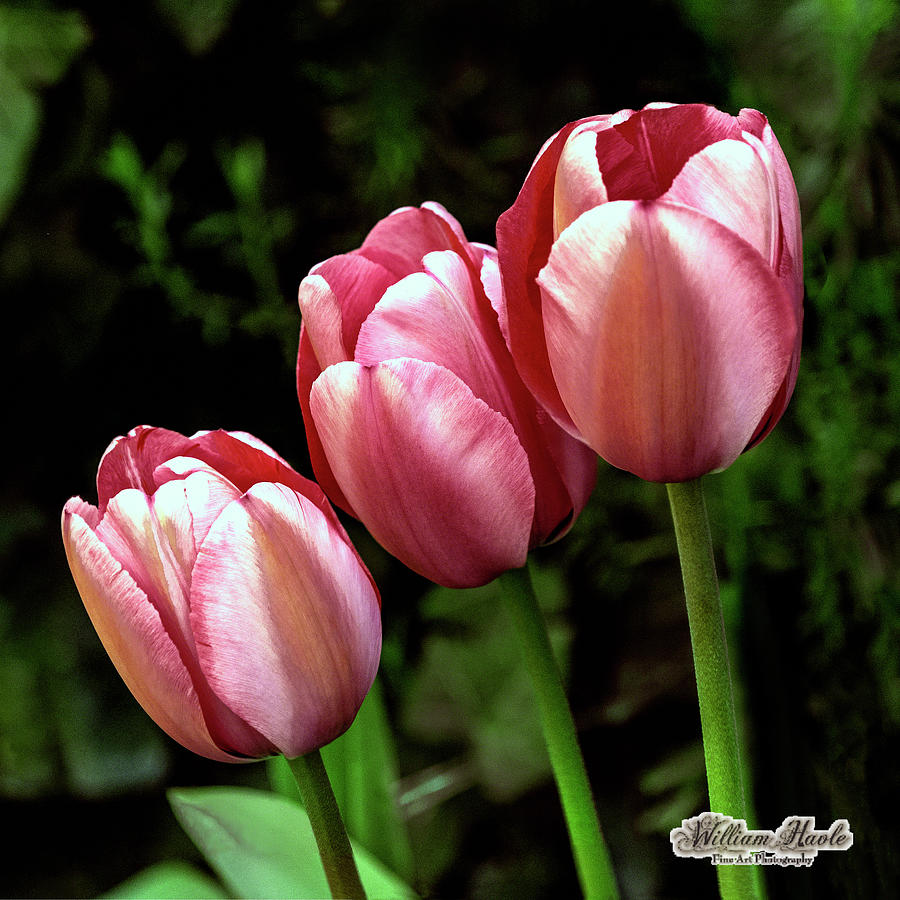 Three Tulips by William Havle