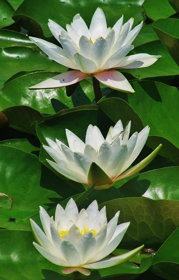 Three Water Lilies Photograph by Thomas  McGuire