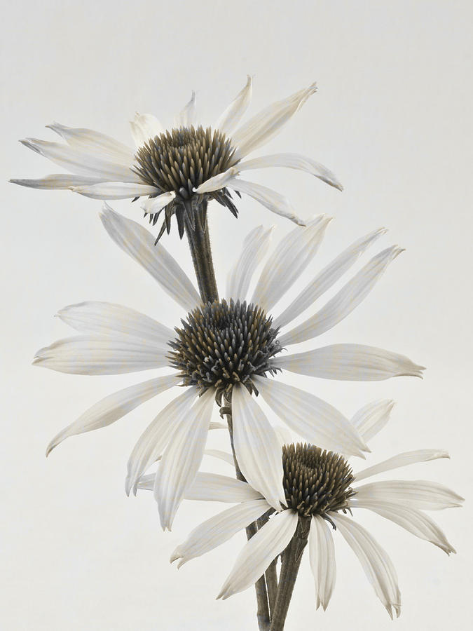 Cone Flowers Photograph - Three White Coneflowers by Sandra Foster