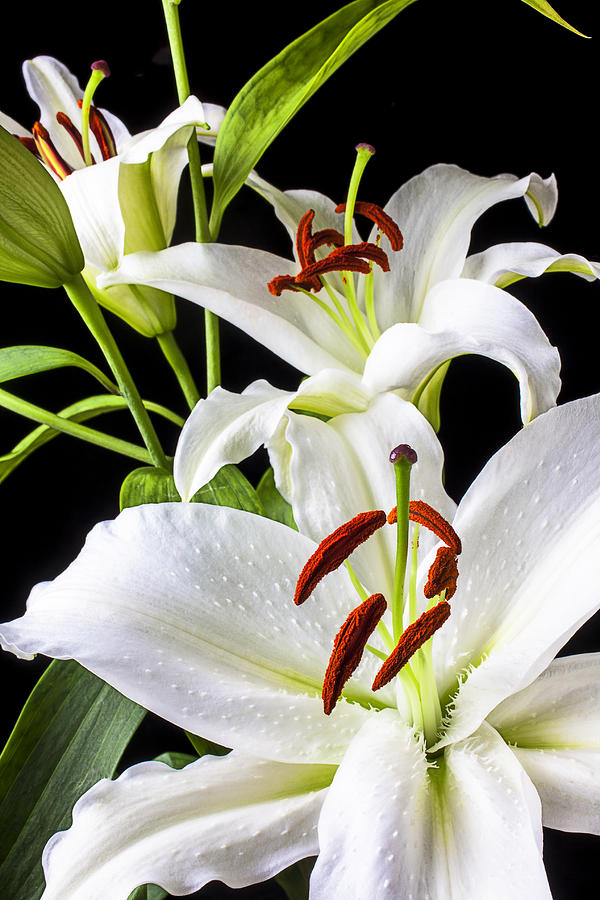 White Tiger Lily Photograph - Three white lilies by Garry Gay