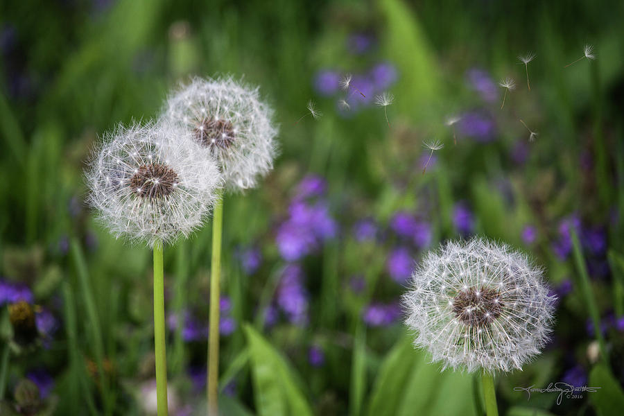 Dandelion Clock Photograph - Three Wishes by Karen Casey-Smith
