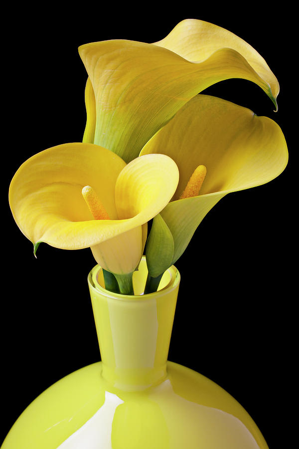 Calla Lily Photograph - Three Yellow Calla Lilies by Garry Gay