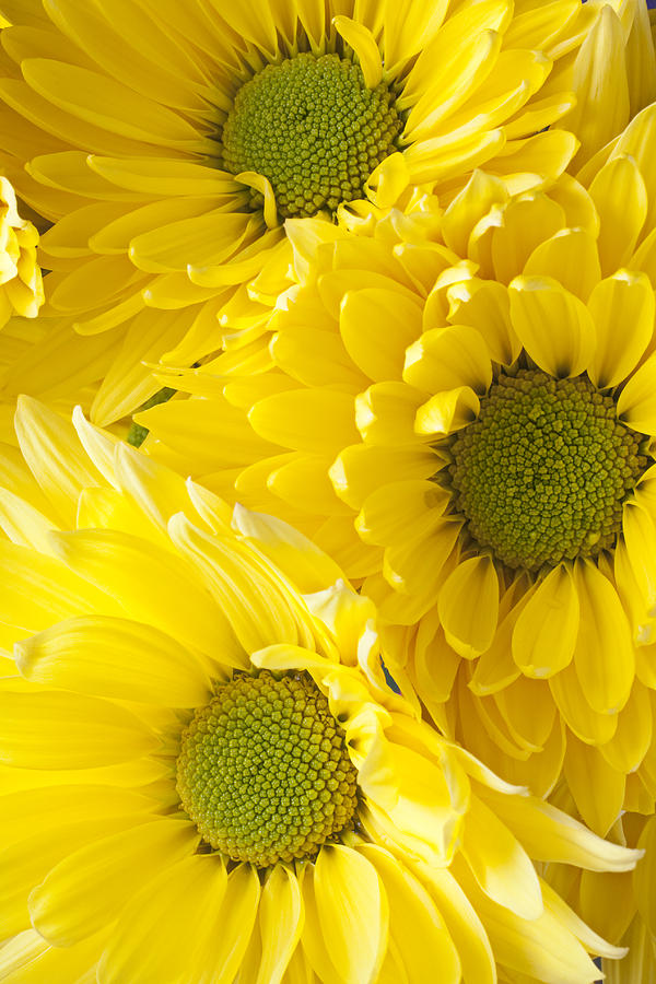 Bright Photograph - Three Yellow Daisies  by Garry Gay