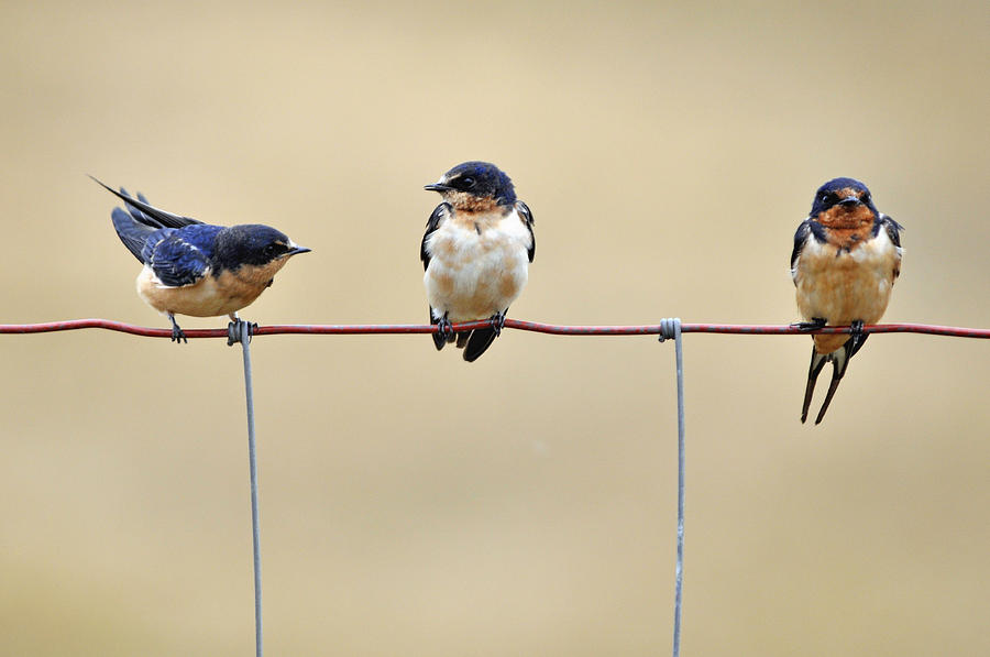 Barn Swallow Photograph - Three Young Swallows by Laura Mountainspring