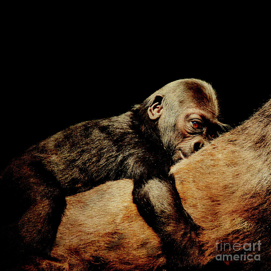 Gorilla Photograph - Through The Eyes Of Hasani . Square by Wingsdomain Art and Photography