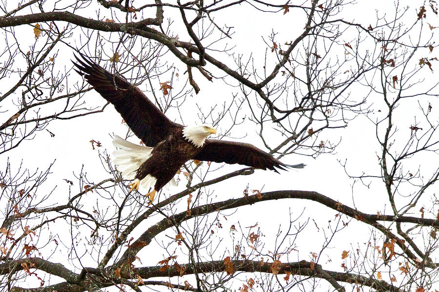 Bald Eagle Photograph - Through The Trees by Michael Peychich