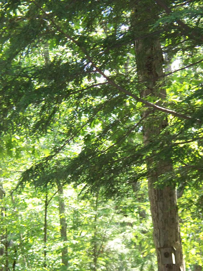 Trees Photograph - Thru The Trees by Rosanne Bartlett