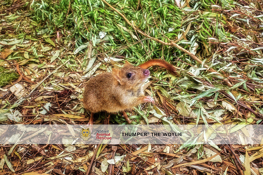 Thumper the Woylie, Native Animal Rescue by Dave Catley