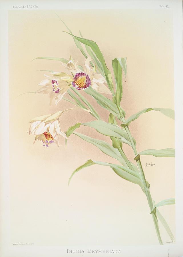 Botany Photograph - Thunia Brymeriana by Ricky Barnard