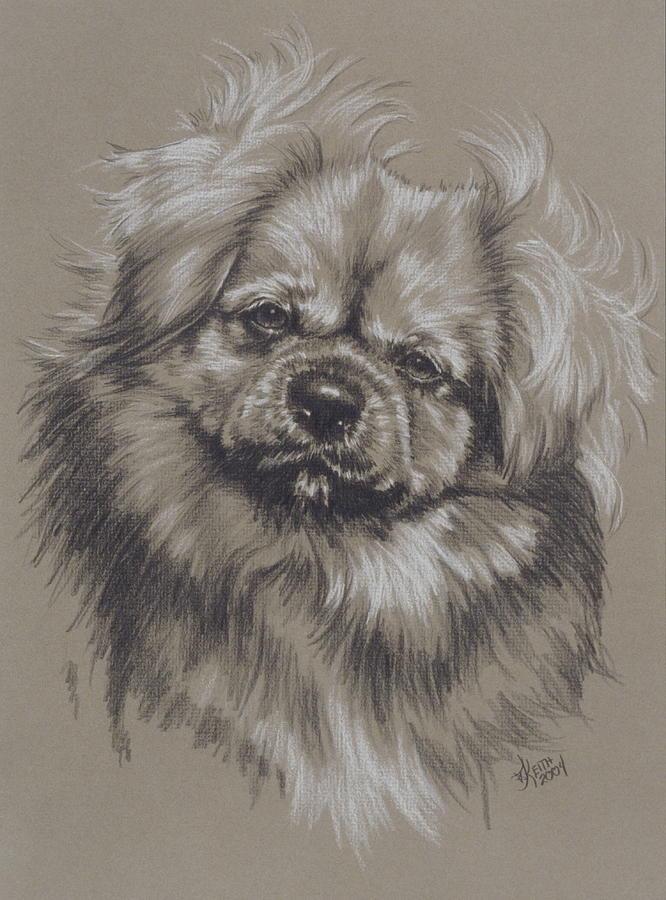 Purebred Drawing - Tibetan Spaniel by Barbara Keith