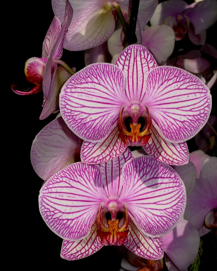 Orchid Photograph - Tickled Pink by Betnoy Smith