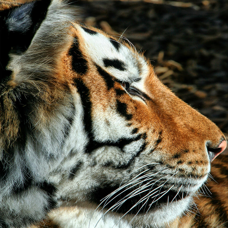 Tiger 01 by Ingrid Smith-Johnsen