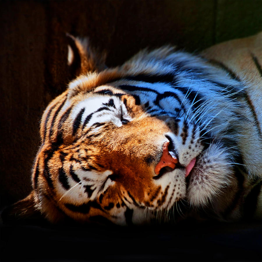 Tiger 06 by Ingrid Smith-Johnsen