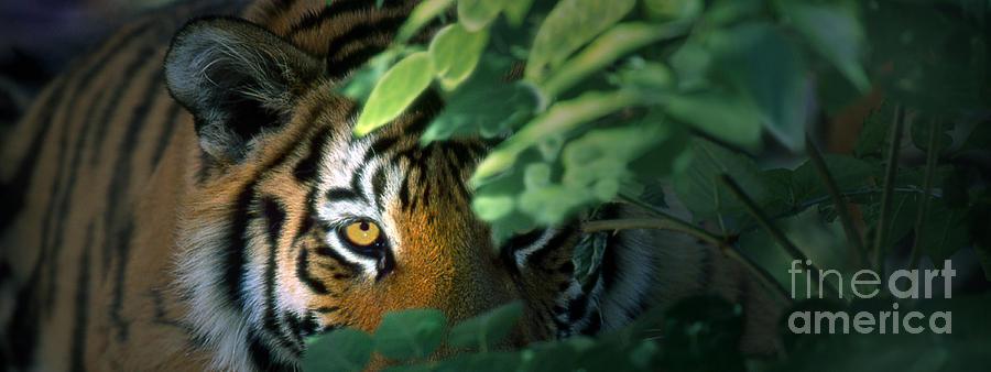 Tiger 5 Pano by Rich Killion