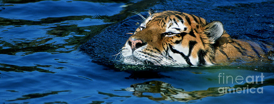 Tiger 7 Pano by Rich Killion