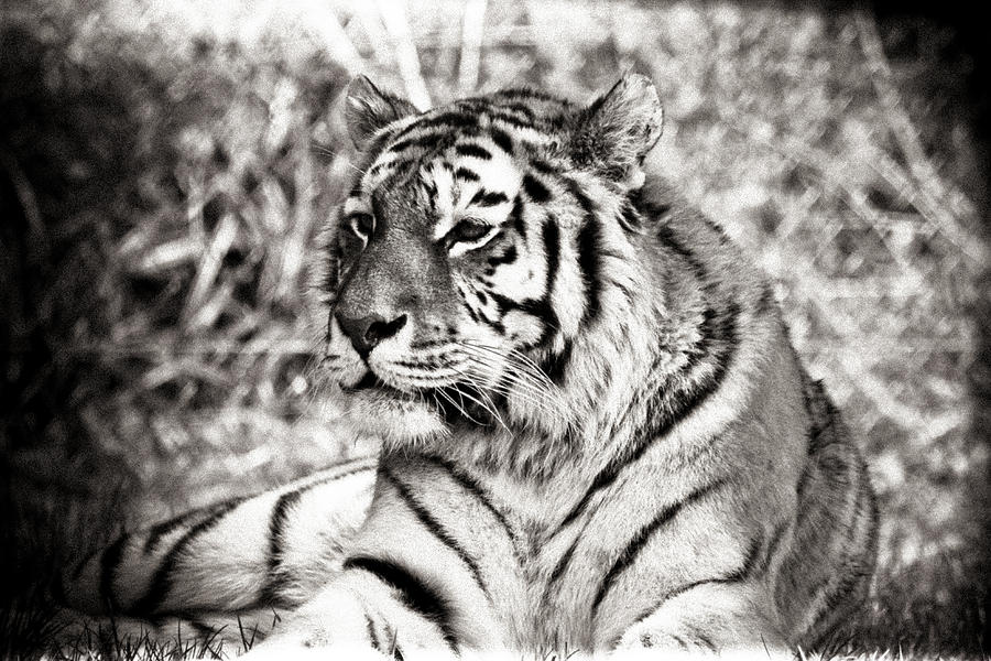 Tiger Photograph - Tiger by Angela Aird